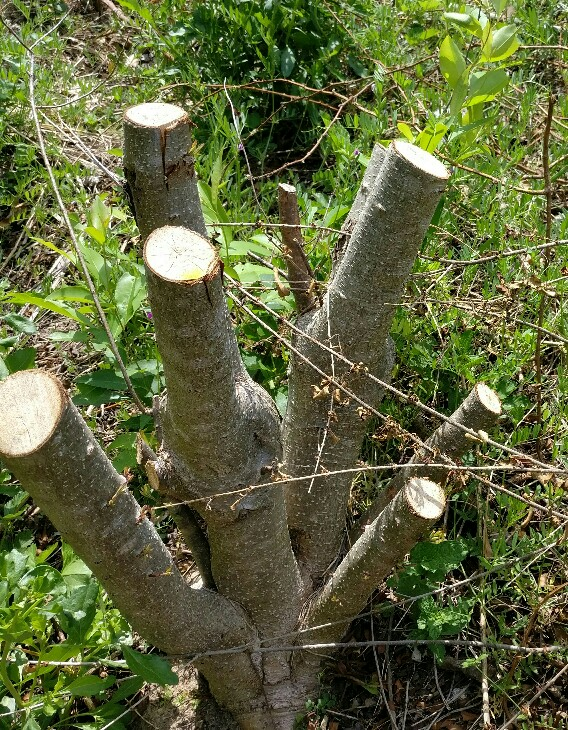 how to kill a stump from a bush