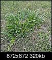 Large Grass weed-img_20170515_202242-872x872.jpg