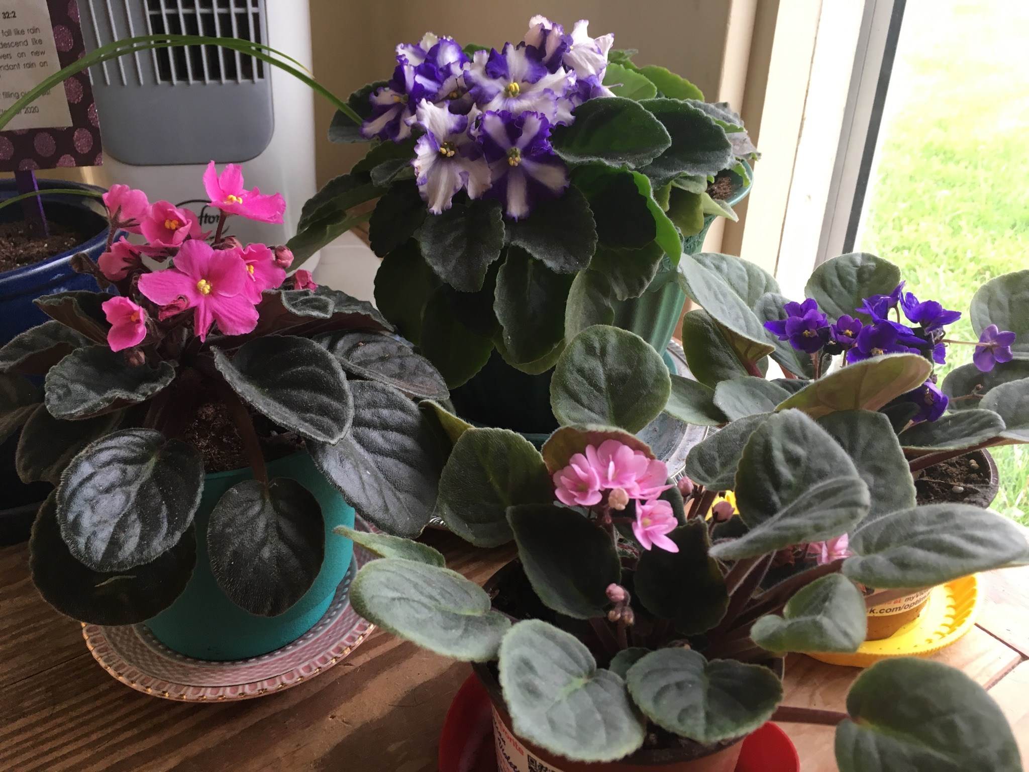 Why violets do not bloom: the main reasons 44