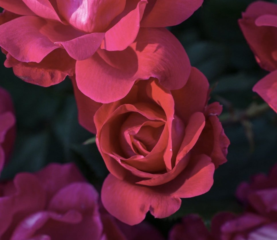 Recipe For Amazing Rose Bushes And Flowering Perennials Flower