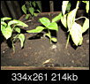 What is this volunteer vege plant?-screen-shot-2018-06-13-9.02.58