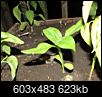 What is this volunteer vege plant?-screen-shot-2018-06-13-9.23.36