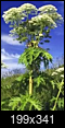 Help ID this poisonous plant-img_20180627_090909.png