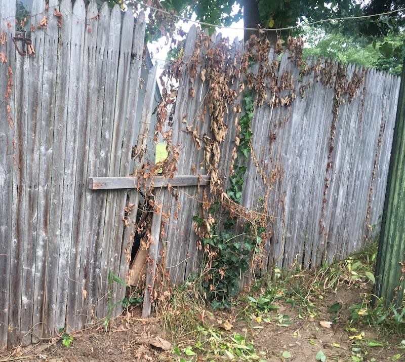Neighbors Volunteer Tree Is Pushing Over Their Fence Growing