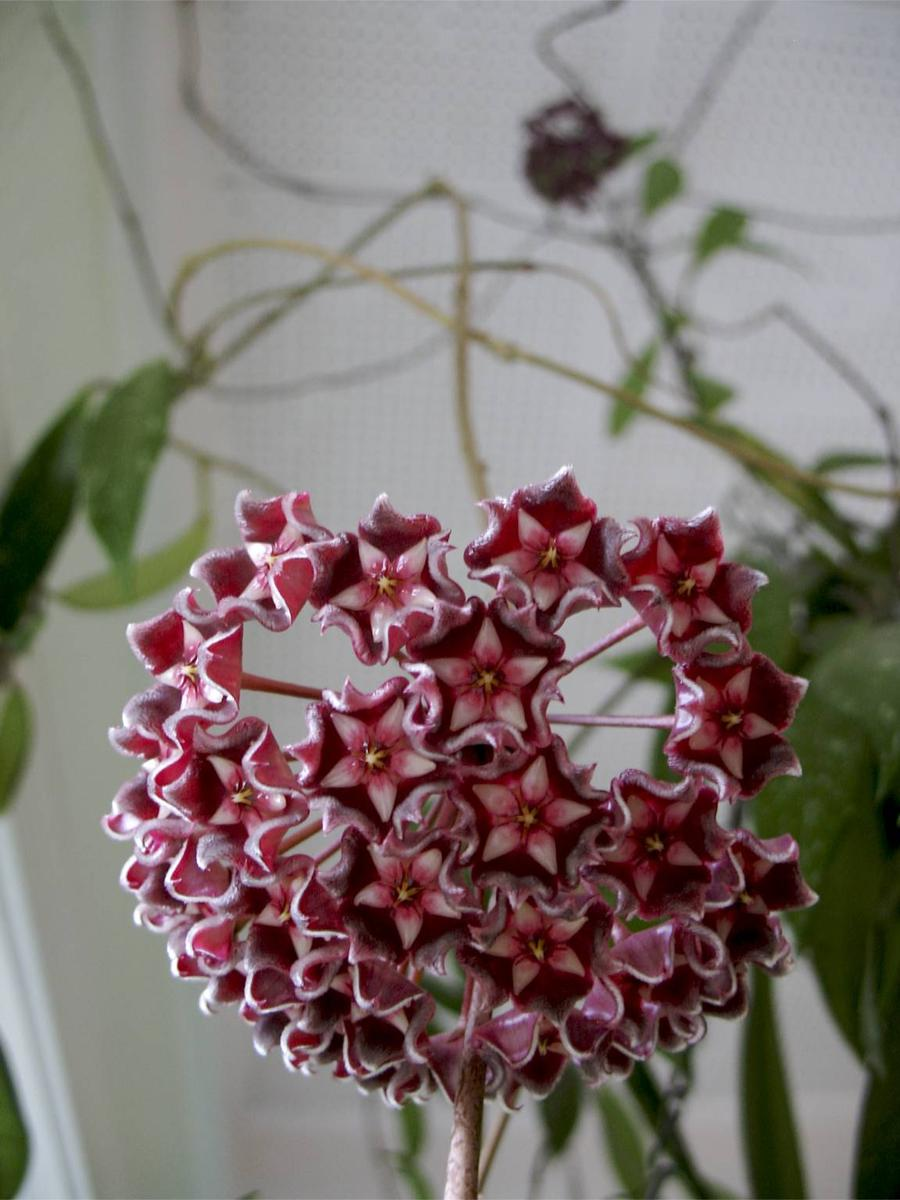 Hoya Plant Climbing But No Leaves Flowers Grow Vines