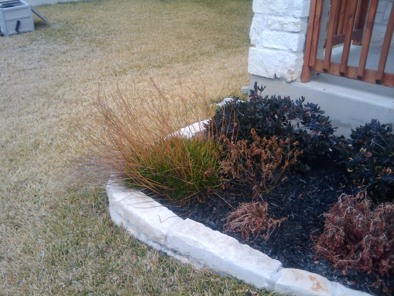 What do you do for dying evergreen bushes?