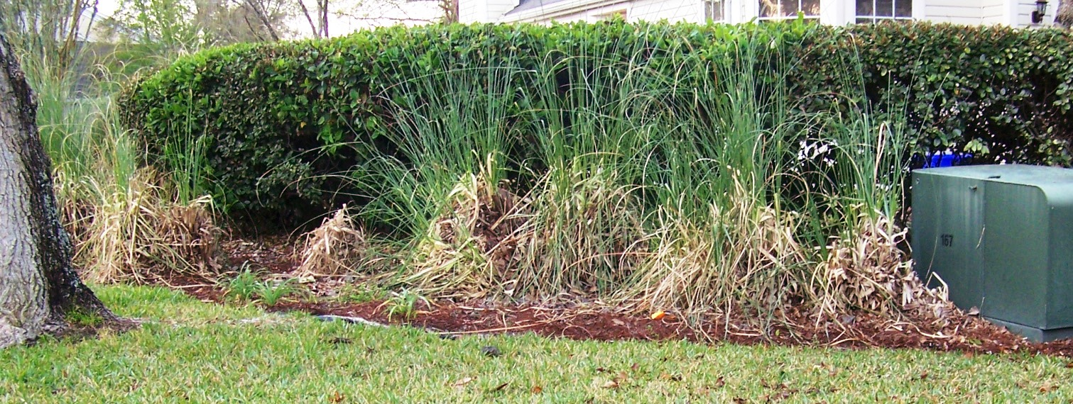 Best for study pictures of landscaping hedges florida for Landscaping ideas with pampas grass