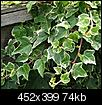How to get rid of Ivy?-variegated-ivy.jpe