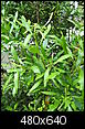 What plant is this?-may-anchor-point-218.jpg