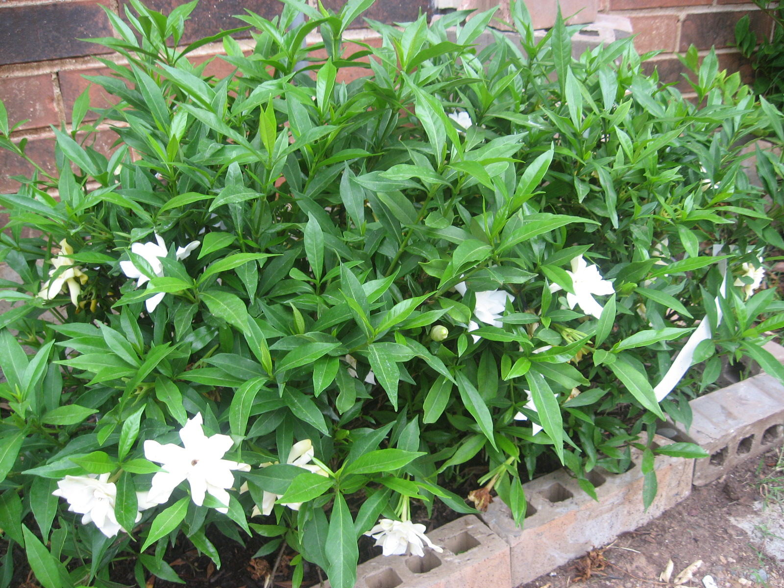 Garden Design Garden Design with Gardenia Bush with Home