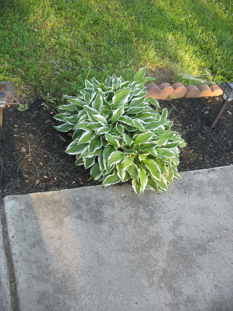 What is this plantush? (landscaping, hostas, yard, weeds) - Garden -Trees,