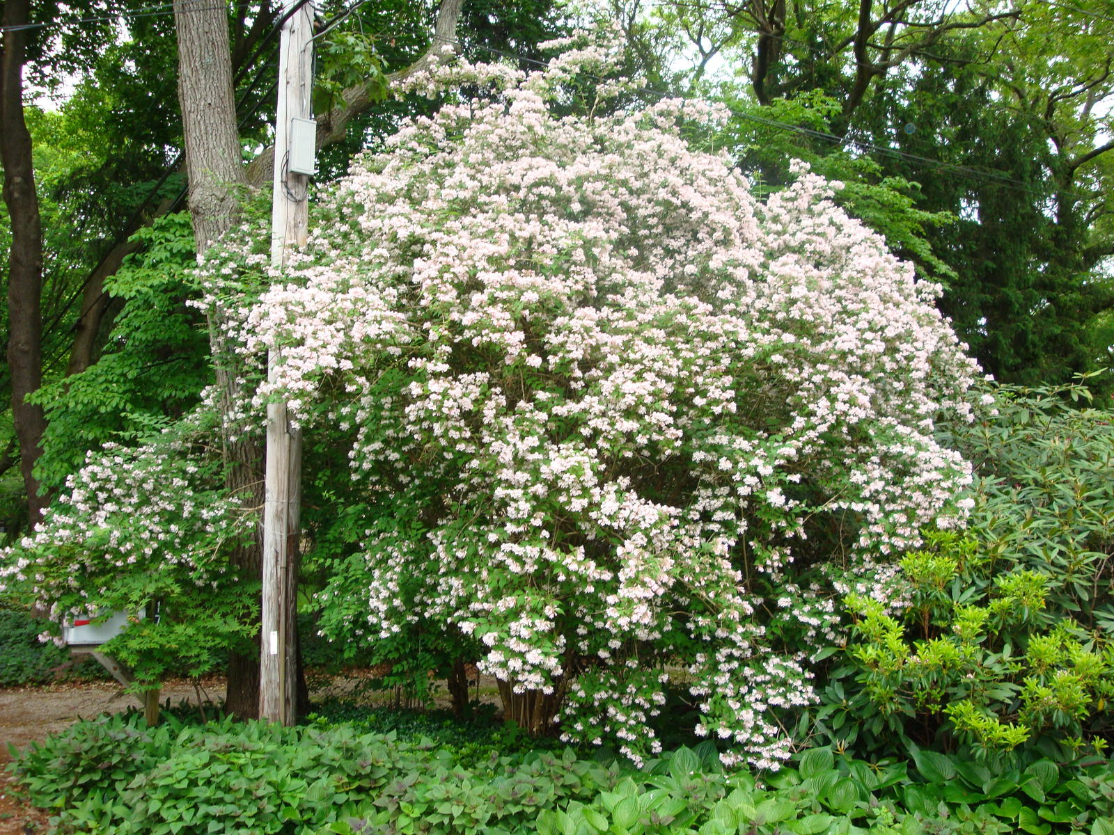 Bush i once saw can you help me flowers butterflies for Landscape bush identification