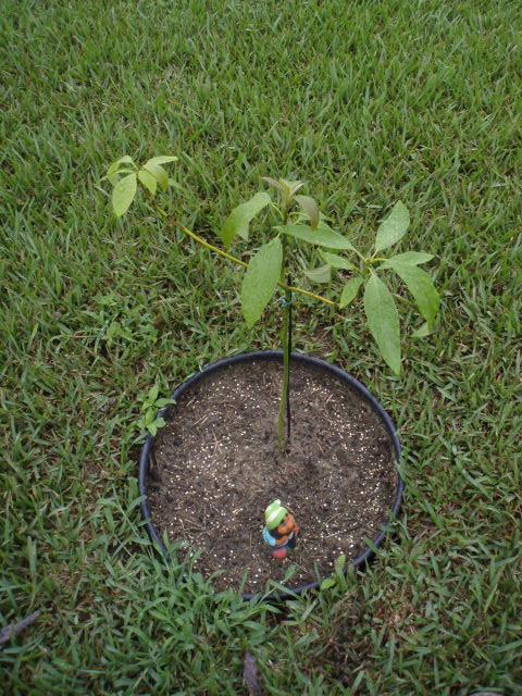 discussions grow avocado tree