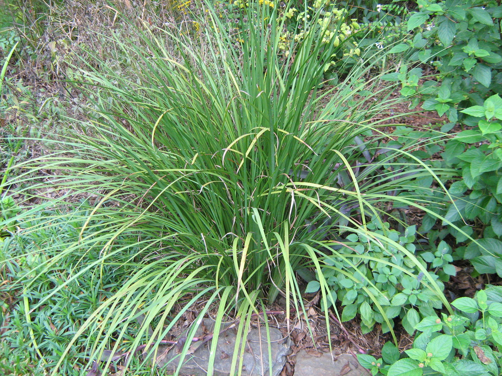 Identify plants by picture video search engine at for Grass bushes landscaping
