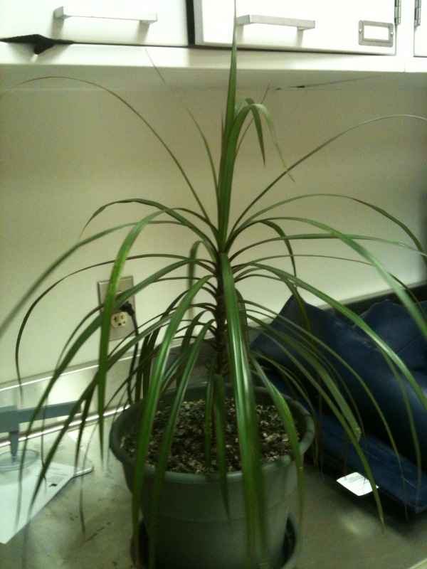 Need help id-ing a house plant (palms, tree, insect, how to ... Indoor House Plant Id on aquarium plant id, house plant name, tropical plant id, house plant identification by flower, house plant identification by leaf, house plant identification guide, house plant propagation, house plant bugs identification, house plant pests, house plant wall,