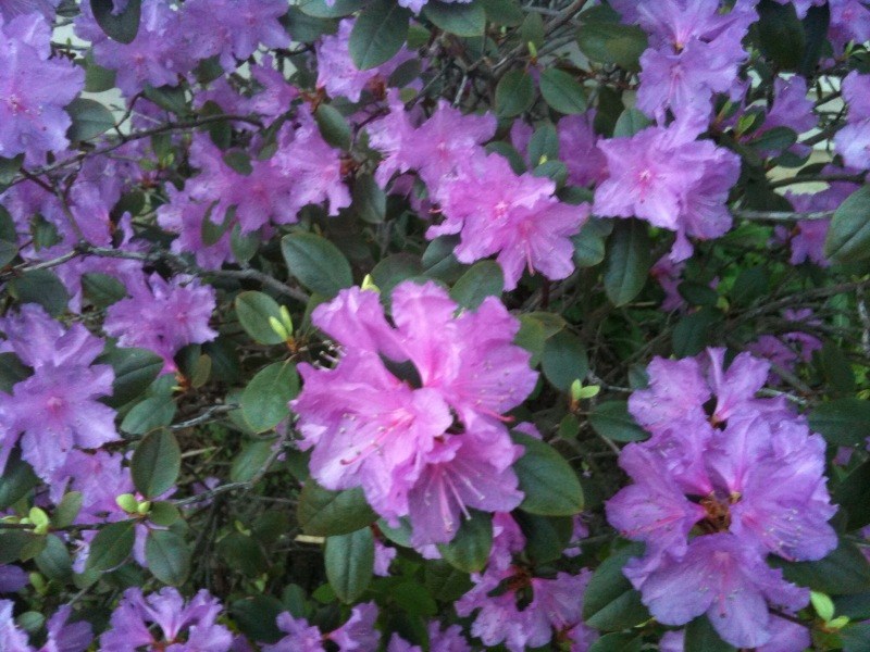 The gallery for purple hibiscus flower drawing for Purple flowering shrubs identification