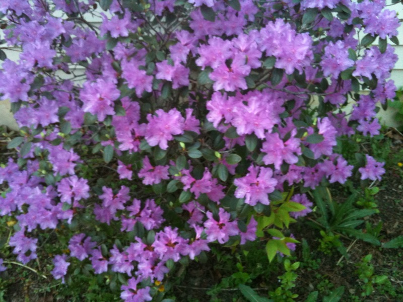 Need help in identifying this bush landscaping hibiscus azaleas need help in identifying this bush bush 1eg mightylinksfo