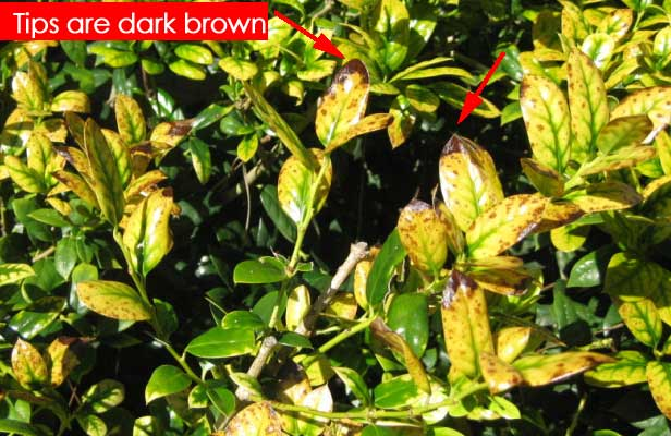 Holly Bushes Losing Leaves Turning Yellow Brown Tips Fertilizer