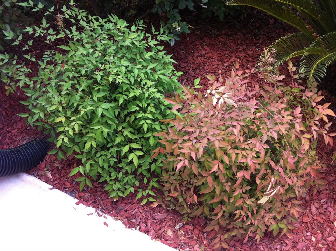 Famous What kind of shrub is this? (grow, plants, sweet, bush) - Garden  OW32