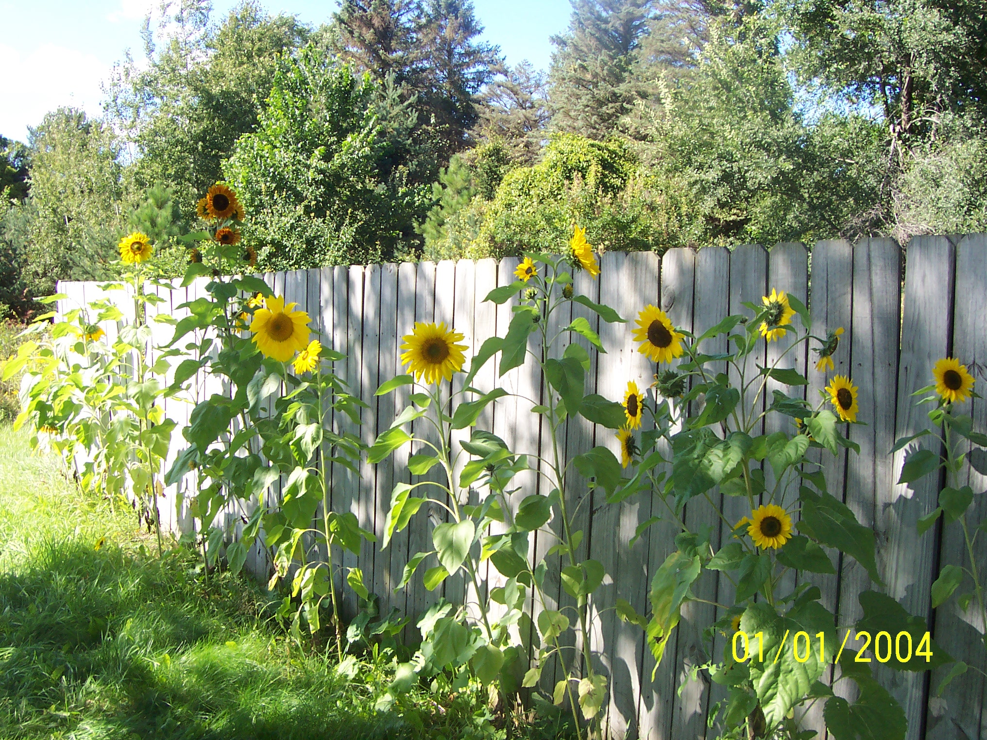 Sunflower Pics Flowers Growing Concrete Backyard Garden