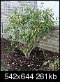 new plants! :)-banana-shrub.jpg