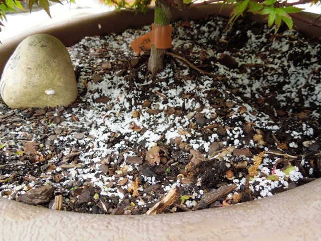 Beni hemi dwarf maple white stuff in soil growing for Things in soil