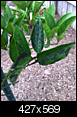 Citrus with curling leaves ,white patches and black spots-orange.png