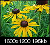 Images of Illinois-black-eyed-susan-07.22.08.jpg