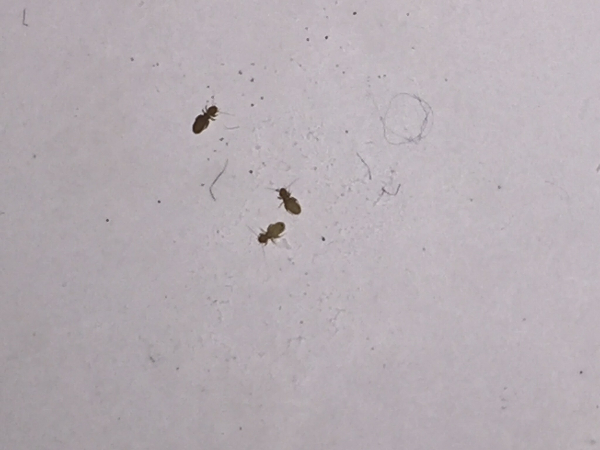 Tiny Flies In Kitchen And Bathroom: Tiny Bug (2015, Health, Company)