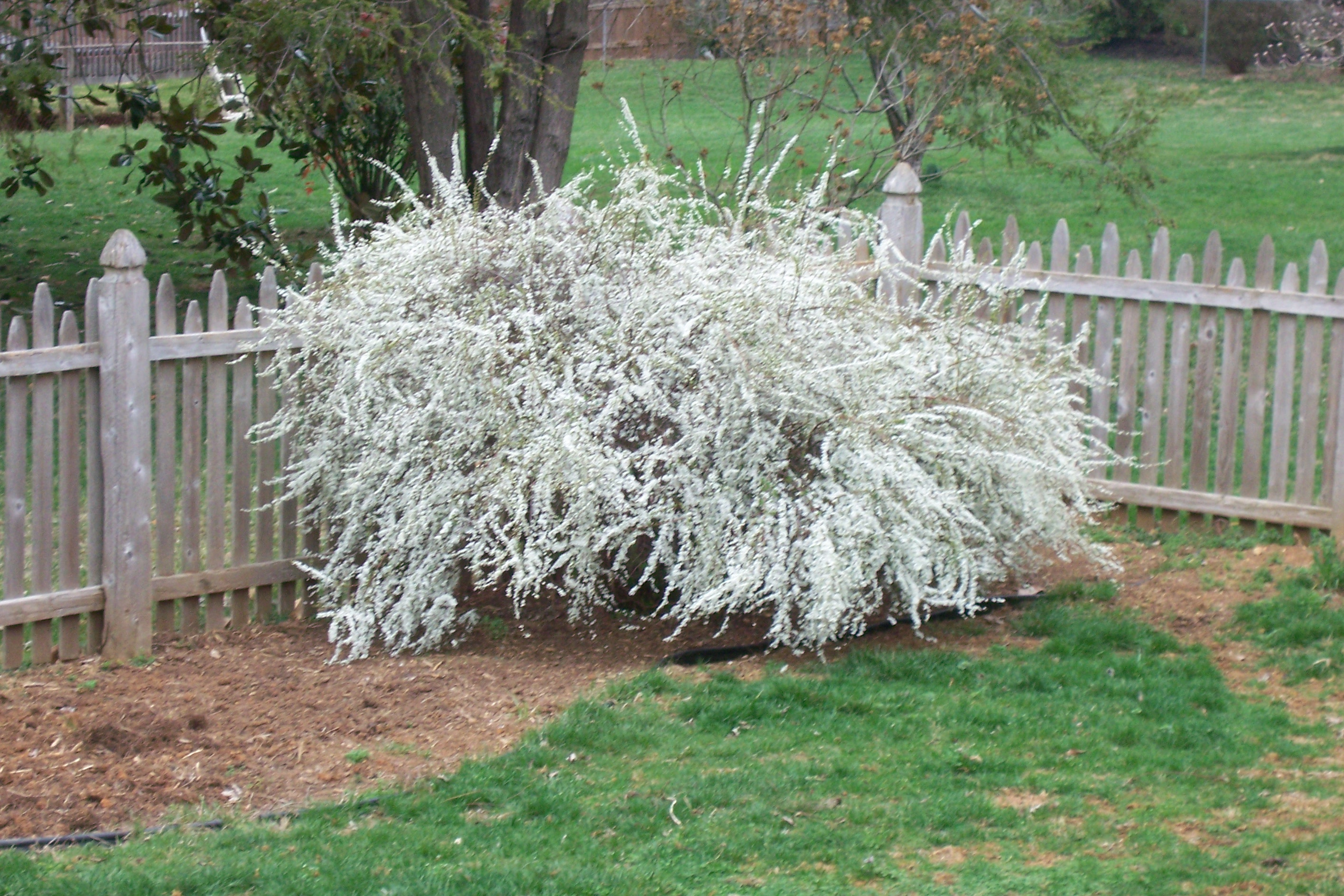 What are the white flowering treees knoxville pigeon for White flowering bush