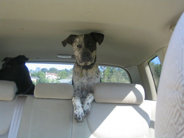 german shorthaired pointer american pit bull terrier mix arrived