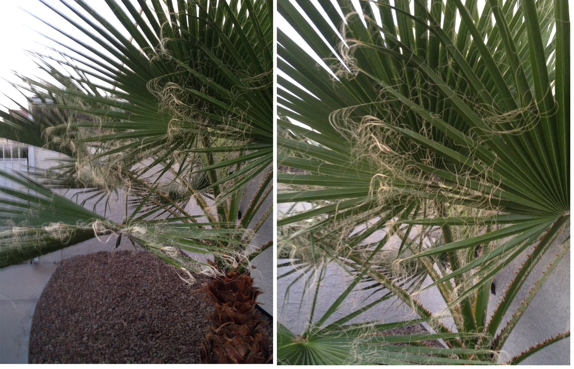 hairy palm
