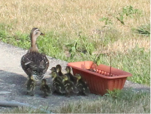 backyard ducks for eggs 2017 2018 best cars reviews