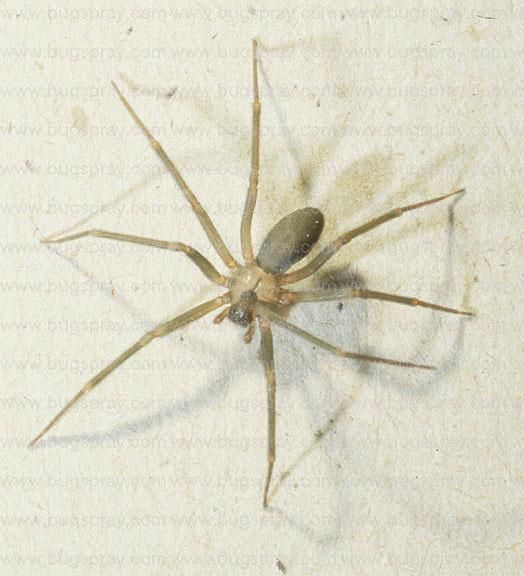What Do Wolf Spiders Eat >> Spiders: How Many Are Too Many? (New York, York: house ...