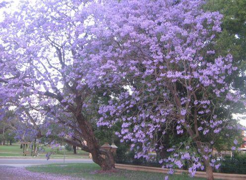 Trees with purple flowers vons reopening pasadena del mar store trees with purple flowers vons reopening jacaranda tree 2g mightylinksfo