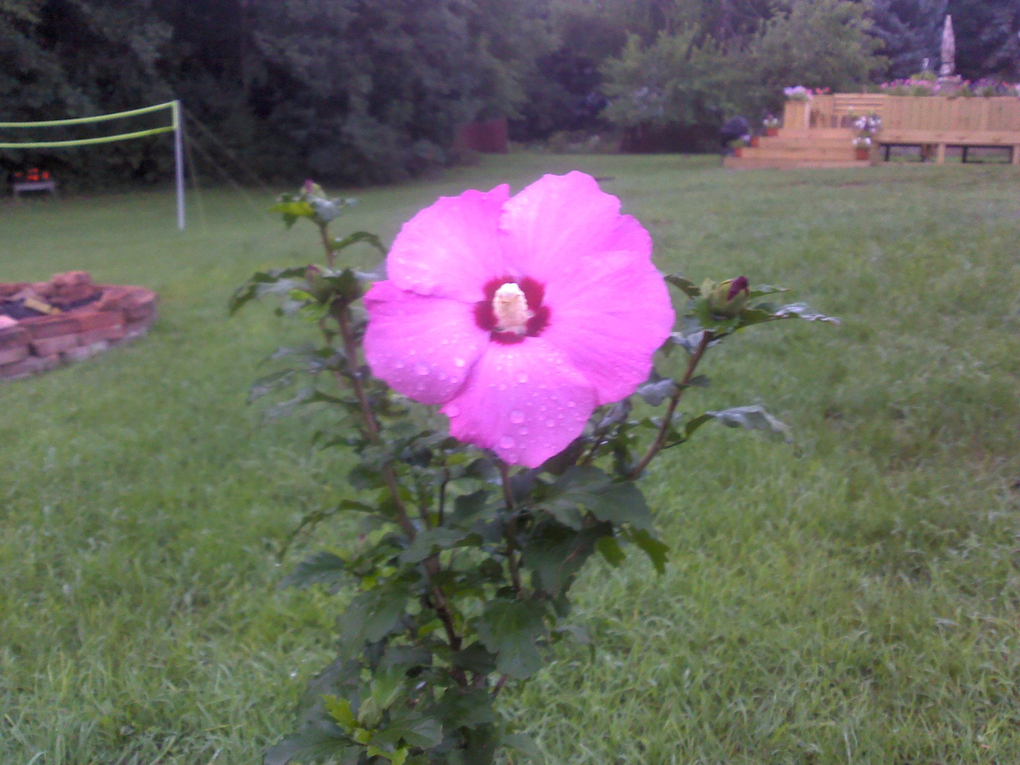 Help me identify this flower home school yard michigan mi help me identify this flower unknown flowerg mightylinksfo