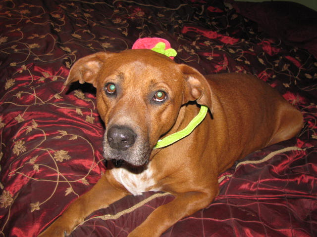 pit bull being banned Breed-specific legislation (bsl) is the term for laws that regulate or ban certain dog breeds they are inneffective and the aspca is strongly opposed.