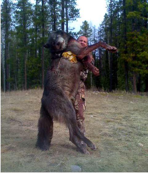 Giant Wolf Dog