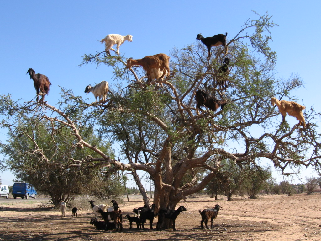 http://www.city-data.com/forum/attachments/nature/120931d1384475782-pictures-13-pictures-crazy-goats-cliffs-goats-trees-funny-pictures-2014.jpg