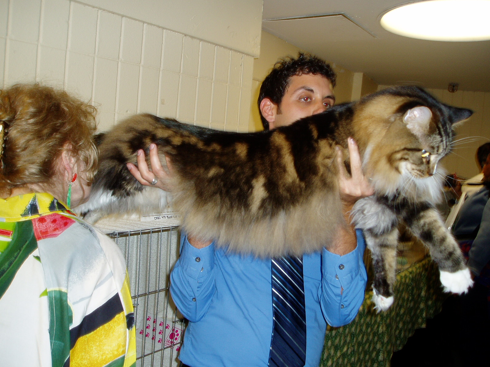 maine coon wikipedia.