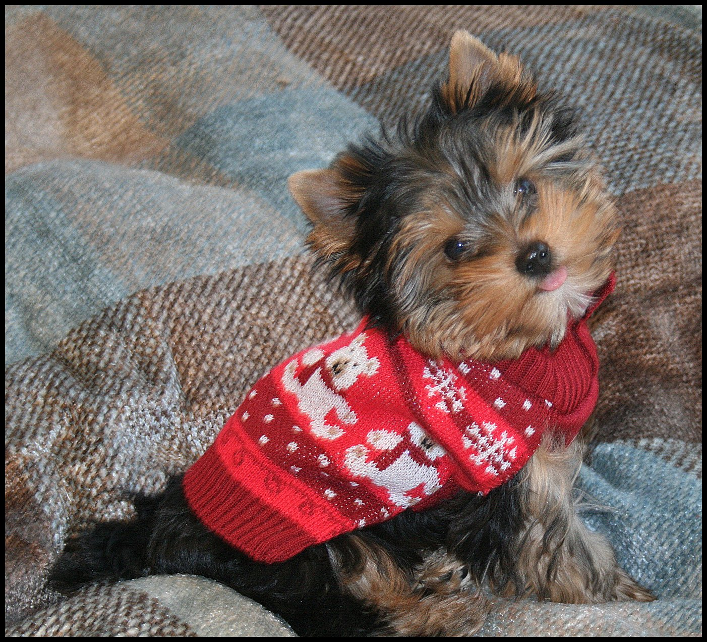 Yorkie Poo - Puppies, Rescue, Pictures, Information ...  |Yorkie Poodle