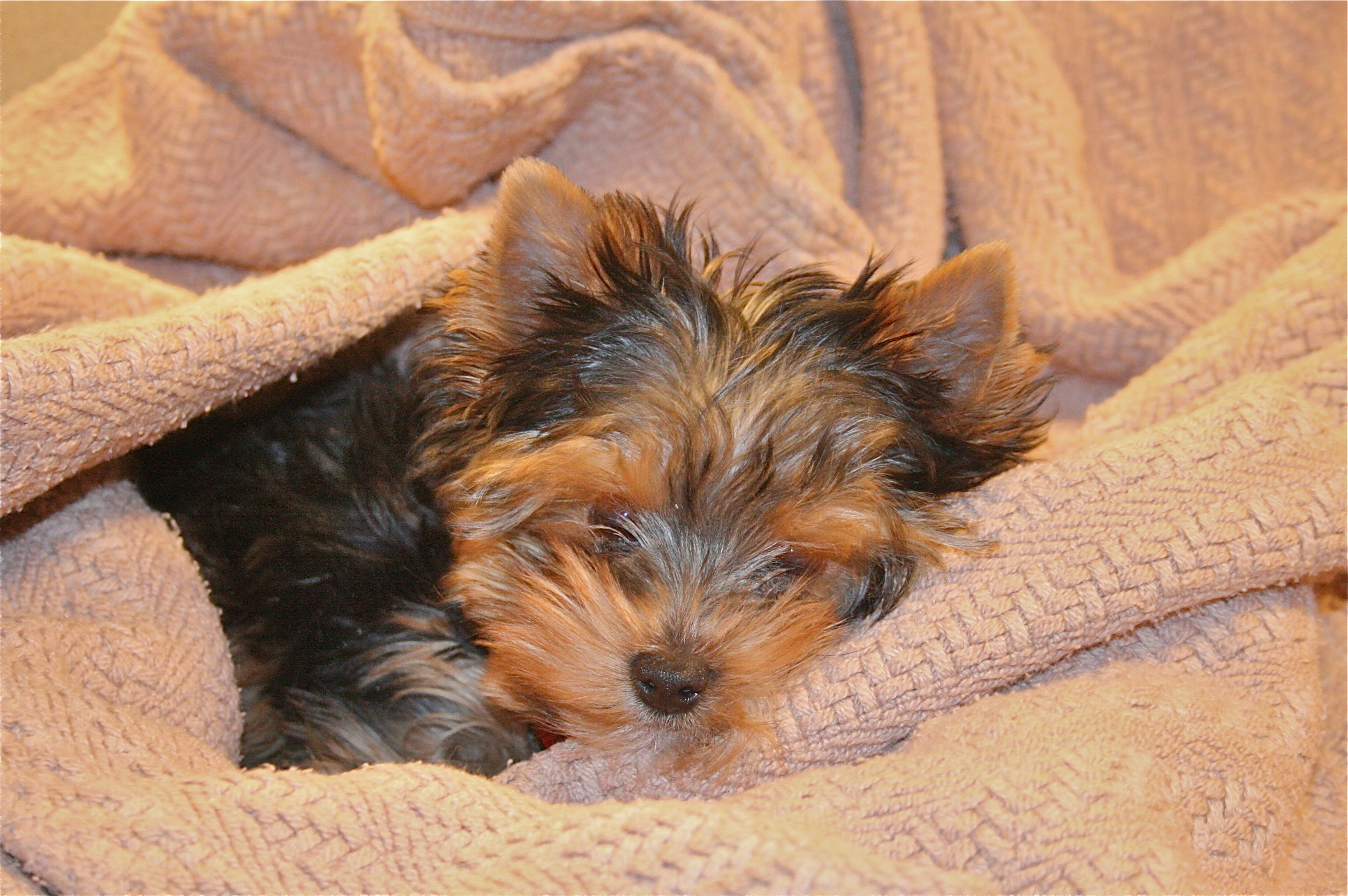 Yorkipoo Dog Breed Information, Pictures, Characteristics ...  |Yorkie Poodle