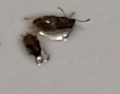What Are These Tiny Brown Crawling Bugs In My Bathroom Apartment