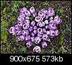 Flowers-springcrocus.jpg