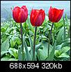 Flowers-tulips.jpg