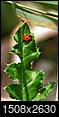 Daily Random Photos - ONE PICTURE PER DAY - 2015-ladybug_thistle_lg.jpg