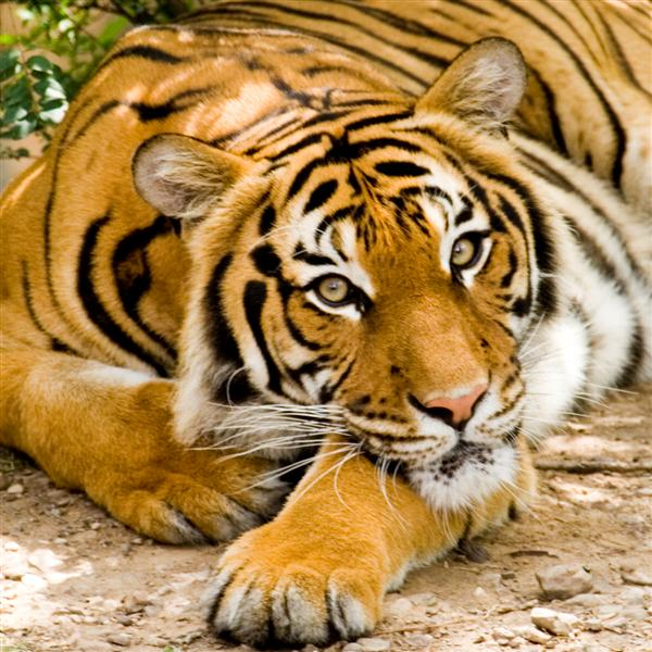 big cats (setting, pictures, photo, images) - Photography -Digital ...