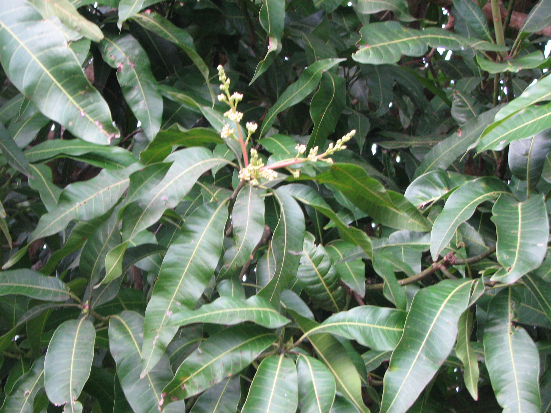 Beautiful Mango Tree Not Producing Fruit Part - 3: Mango Tree Does Not Produce Fruit-img_0703.jpg