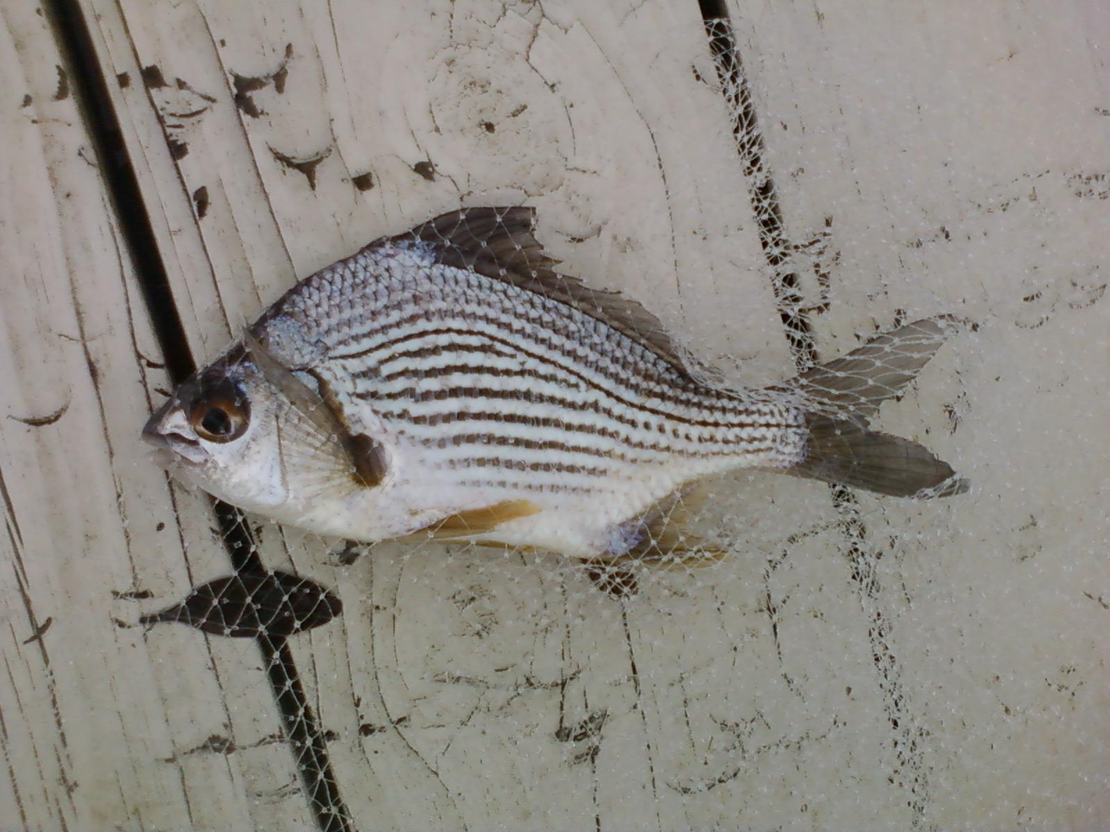 Help iding fish small from canal venice eat areas for Florida canal fishing