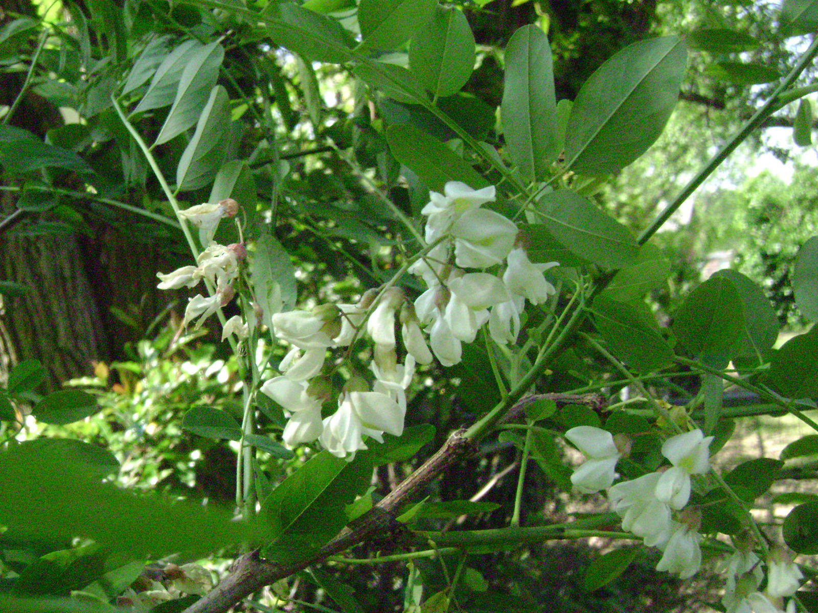 White Flowering Tree Raleigh Locust Live Yard Best Raleigh